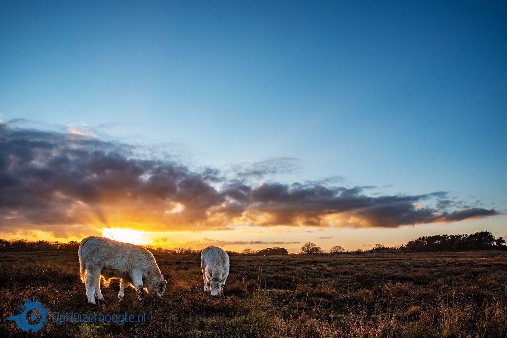 Winterwandeling Tafelbergheide Huizen charolais runderen